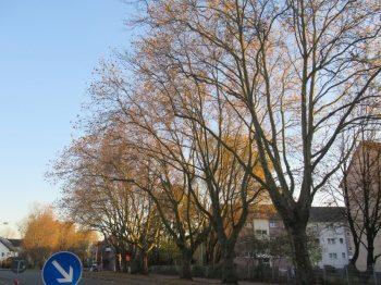 Bürger wehren sich gegen Baumnfällaktion in Brauck