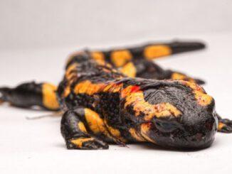 Salamanderpest in Castrop-Rauxel