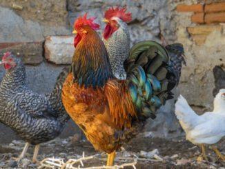 Corona für Menschen - Aviäre Influenza für Hühner