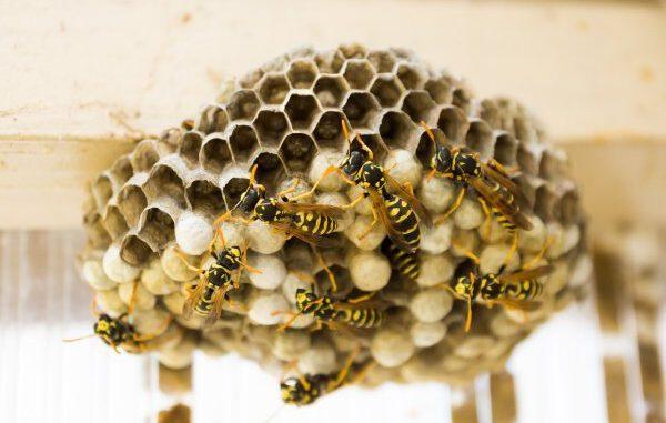 Wespen und Hornissen - auch in Gladbeck selten gefährlich