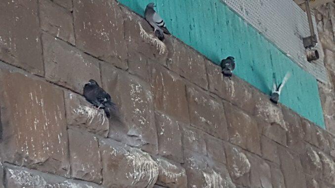 Tauben an der Wand unter der Autobahnbrücke
